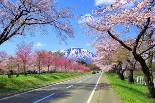 小岩井農場付近より県道219号と桜並木に岩手山の写真素材 [FYI04784228]