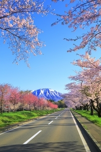 小岩井農場付近より県道219号と桜並木に岩手山の写真素材 [FYI04784234]