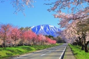小岩井農場付近より県道219号と桜並木に岩手山の写真素材 [FYI04784235]