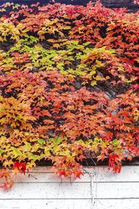 鮮やかな紅葉のナツヅタの写真素材 [FYI04784283]