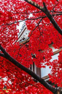 真っ赤に紅葉したモミジの写真素材 [FYI04784361]