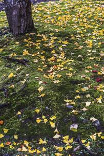 コケの地面に落葉したイチョウの葉の写真素材 [FYI04784369]