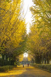 熊本県民総合運動公園のイチョウ並木道の写真素材 [FYI04784433]