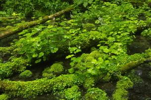 初夏の阿寒川原流域 雄阿寒岳山麓の森の写真素材 [FYI04784457]