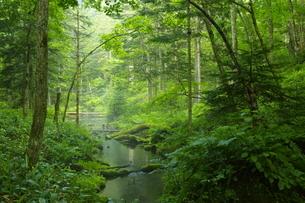 初夏の阿寒川原流域 雄阿寒岳山麓の森の写真素材 [FYI04784459]