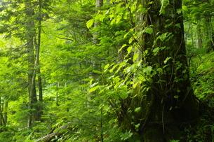 初夏の阿寒川原流域 雄阿寒岳山麓の森の写真素材 [FYI04784460]