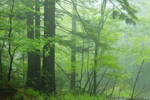 初夏の雌阿寒岳山麓 霧の森の写真素材 [FYI04784465]