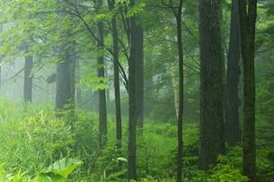 初夏のオンネトー湖畔の森の写真素材 [FYI04784466]