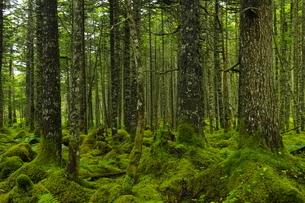 根室 温根沼付近の苔の森の写真素材 [FYI04784483]