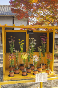 旧細川刑部邸前の肥後菊の写真素材 [FYI04784507]