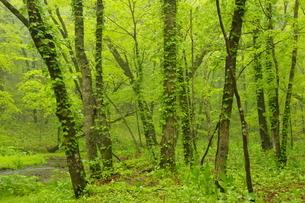 新緑のポロト自然休養林の森の写真素材 [FYI04784513]