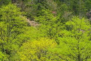沙流川上流域 芽吹きと新緑の森の写真素材 [FYI04784514]