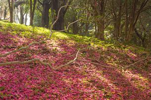 サザンカの落ち花の写真素材 [FYI04784544]