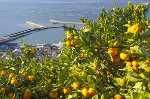 河内みかん山と有明海塩屋漁港の海苔網の写真素材 [FYI04784554]