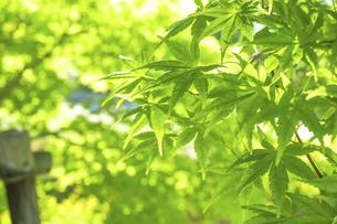 新緑の楓の写真素材 [FYI04784594]