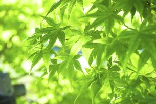 新緑の楓の写真素材 [FYI04784595]