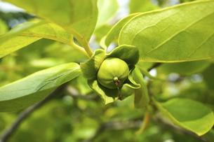 柿の実の写真素材 [FYI04784596]