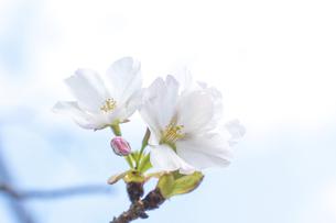 桜の写真素材 [FYI04784600]