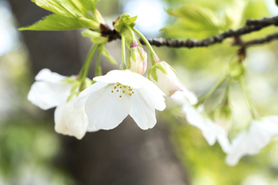 桜の写真素材 [FYI04784601]