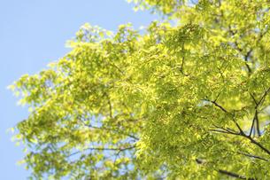 新緑のけやきの写真素材 [FYI04784606]