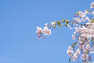 青空に映える桜 (紅しだれサクラ)の写真素材 [FYI04784607]
