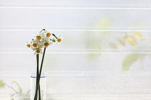 窓辺で撮影した日本水仙の写真素材 [FYI04784733]