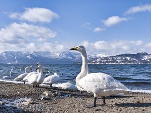 屈斜路湖の白鳥の写真素材 [FYI04784749]