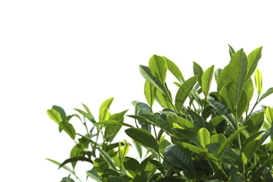 茶葉の写真素材 [FYI04785071]