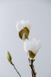 咲き始めのハクモクレンの写真素材 [FYI04785160]