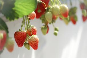 苺のイメージの写真素材 [FYI04785181]