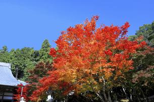 滋賀県 東近江市 紅葉の赤が美しい東光寺の秋の写真素材 [FYI04785194]