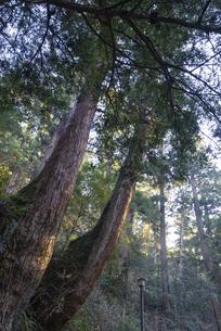 樹齢数百年の2本杉の写真素材 [FYI04785270]