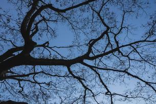 毛細血管のような枝のシルエットの写真素材 [FYI04785272]