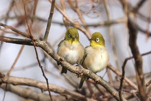 枝にとまる二羽のメジロの写真素材 [FYI04785340]