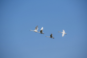 春の青空を飛ぶハクチョウの群れの写真素材 [FYI04785377]