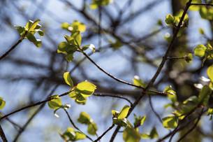 芽吹き始めた緑の葉の写真素材 [FYI04785382]