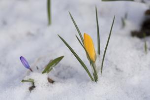 雪に埋もれた黄色いクロッカスのつぼみの写真素材 [FYI04785387]