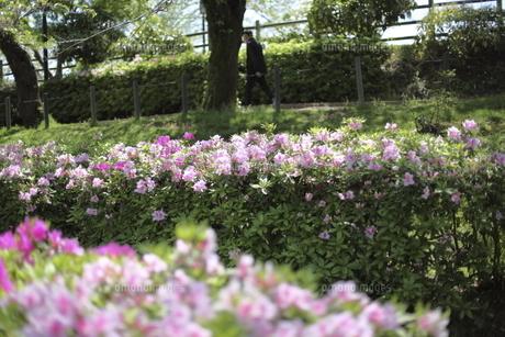 岡崎公園のツツジの写真素材 [FYI04785507]