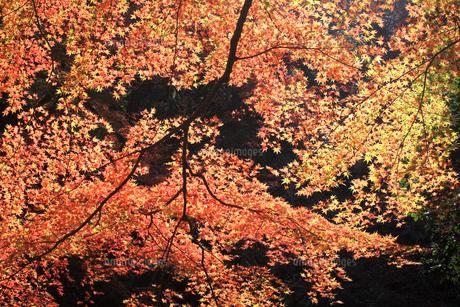 滋賀県 東近江市 朝の日差しを浴びて逆光に輝く紅葉の写真素材 [FYI04785660]