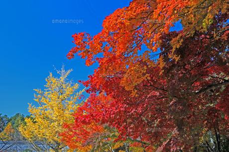 滋賀県東近江市 青空の下赤い紅葉と銀杏が美しい東光寺の秋の写真素材 [FYI04785661]