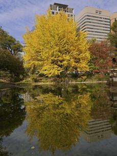 東京都 日比谷公園の黄葉の写真素材 [FYI04785716]