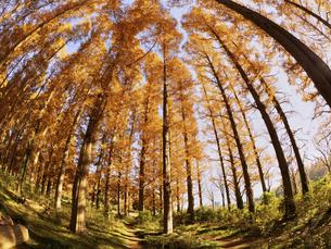 東京都 水元公園のメタセコイアの黄葉の写真素材 [FYI04785775]