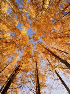 東京都 水元公園のメタセコイアの黄葉の写真素材 [FYI04785776]