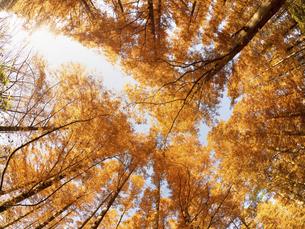 東京都 水元公園のメタセコイアの黄葉の写真素材 [FYI04785781]