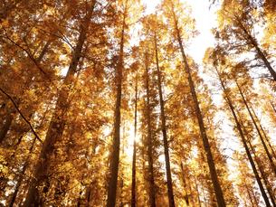 東京都 水元公園のメタセコイアの黄葉の写真素材 [FYI04785788]