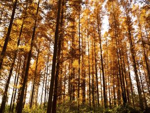 東京都 水元公園のメタセコイアの黄葉の写真素材 [FYI04785790]