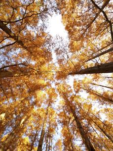 東京都 水元公園のメタセコイアの黄葉の写真素材 [FYI04785795]