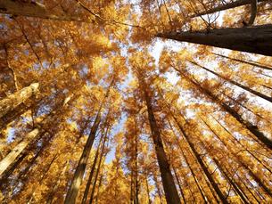 東京都 水元公園のメタセコイアの黄葉の写真素材 [FYI04785796]