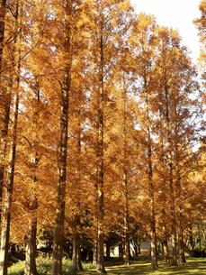 東京都 水元公園のメタセコイアの黄葉の写真素材 [FYI04785800]