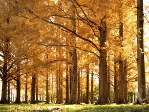 東京都 水元公園のメタセコイアの黄葉の写真素材 [FYI04785803]